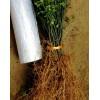 大量批发积壳小苗,株高20厘米的1年生小苗。