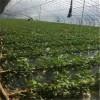 甜查理草莓苗品种童子一号草莓苗上市时间