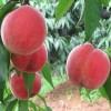 供应1公分2公分3公分红甘露桃树苗报价