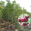 吉塞拉樱桃苗基地 批发矮化樱桃苗价格 1公分福晨樱桃苗
