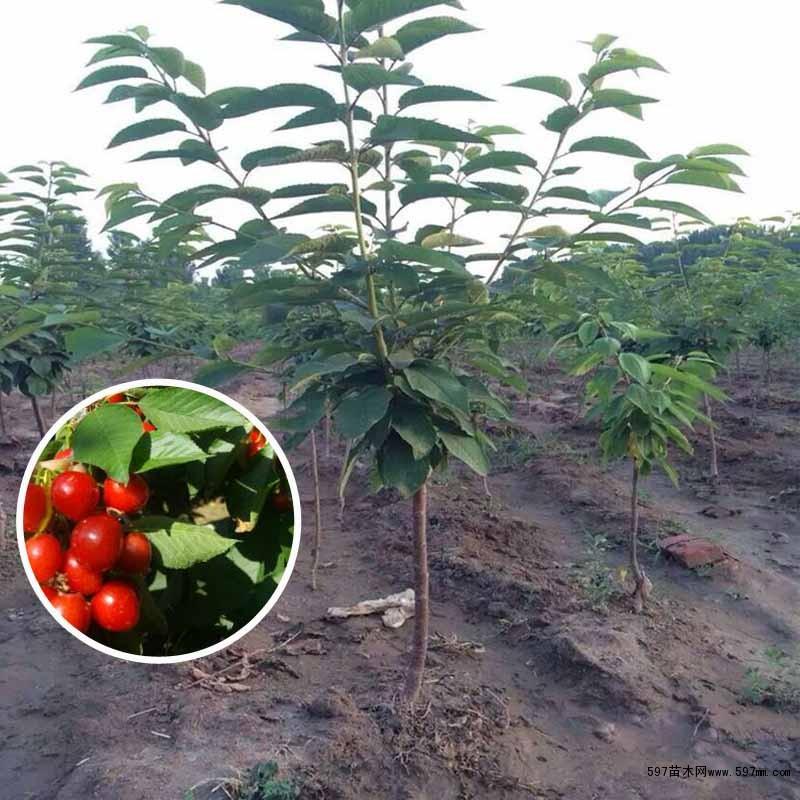 吉塞拉六号樱桃苗供应1到10公分大樱桃树苗|果树小苗