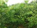 红杏杏树苗