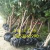 珍珠油杏种苗哪里有,3公分珍珠油杏杏树苗哪里便宜卖的