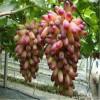 山东葡萄苗基地 葡萄苗品种全  成活率高  价格低