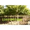 国槐树苗价格 米径3公分