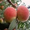 当年映霜红桃树苗出售 映霜红桃树小苗利博娱乐