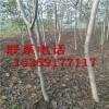 3、4、5、6、7、8、9、10公分核桃树 实生核桃树