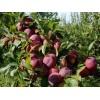 李子苗产量高的品种 优质李子树苗种植技术 嫁接李子苗价格