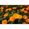 金盏菊种子价格  今年金盏菊种子报价多少钱一斤