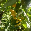 1公分白玉樱桃树苗价格、1公分樱桃树苗报价、樱桃树苗