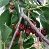 1公分俄罗斯8号樱桃树苗价格、1公分樱桃树苗基地、樱桃树苗