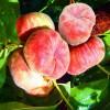 三年生美国红蟠桃树苗哪里有