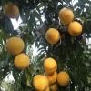 黄金蜜4号桃树苗种植基地 黄金蜜4号桃树苗多少钱一棵