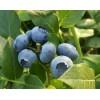 丹东蓝莓鲜果