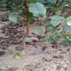 晚熟杏树苗价格 晚熟杏树苗哪里有 信森农业科技供应