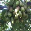 软枣子鲜果,软枣鲜果