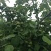 基地直销各种50公分以上优质核桃树苗