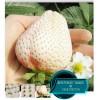 高产白草莓苗山东白草莓价格可盆栽院栽白雪公主小白价格
