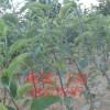 山西红富士苹果苗,矮化红富士苹果苗,最新品种苹果苗