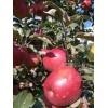 鲁丽苹果苗 鲁丽苹果树苗价格