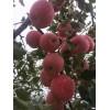 1公分粗鲁丽苹果树苗价格 鲁丽苹果树苗报价
