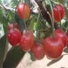 供应5公分早红樱桃苗 樱桃小苗价格
