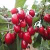 乔化砂蜜豆樱桃苗 砂蜜豆樱桃苗怎么卖 砂蜜豆樱桃苗价格