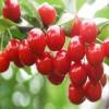 黑兰特樱桃树苗5公分黑兰特大樱桃苗