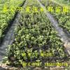 布里吉塔蓝莓苗、布里吉塔蓝莓树苗、布里吉塔蓝莓树苗价格