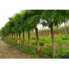 大量供应园林绿化苗木