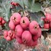 歪把红山楂苗品种 棉球山楂苗批发价格