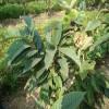 板栗实生苗上市 石丰板栗苗成熟时间