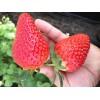 哪里有优质草莓苗 草莓苗一亩地种多少棵 草莓苗怎么种植
