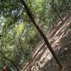供应红榉树