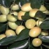 金丝枣枣树苗价格 2公分枣树苗哪里有卖