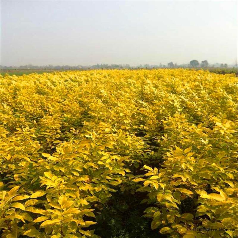 """形态特征 金叶白蜡是我国落叶乔木白蜡树的彩叶新品种。金冠白蜡是园林绿化落叶乔木,枝叶稠密,树形优美。春季小芽初发,像满树金黄的腊梅枝头绽开,一派高雅动人之态。叶片展开像一朵朵金色的花朵满树怒放,娇滴滴鲜艳可爱。七月底以前叶片全部金黄,七月底以后的整个生长季节嫩叶金黄,逐渐变为黄绿色,老叶变为绿色更衬托像绿叶黄花格外娇。三季观""""花""""(初春象腊梅、春、夏象花朵)、观叶,在落叶前的20多天内,满树叶片皆变为黄色。整个观赏期200多天。用金冠白蜡给绿树作点缀,远眺,万绿丛中一片金,极具诗情画"""