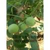 最新品种梨树苗介绍