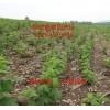 嘉兴树莓苗,覆盆子,红树莓,黑树莓,黄树莓苗品种纯保成活基地