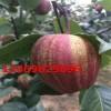 梨树苗繁育基地长期出售1-3公分规格早酥红梨树梨苗