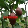 山东早酥红梨树梨苗供应山西早酥红梨树梨苗供应
