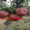 早酥红梨树梨苗山东园艺场供应现挖现卖抗病能力强