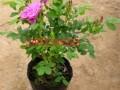 四季玫瑰紫枝玫瑰