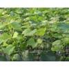 出售优质美人指 玫瑰香 红乳 红高 京亚葡萄苗 品种纯正