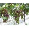 出售优质维多利亚、巨玫瑰、藤念 青提、黄提葡萄苗 品种纯正