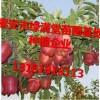 苹果苗多少钱一颗市场行情苹果苗种植基地