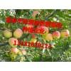 苹果苗怎么运输大量供应苹果苗苹果苗种植基地