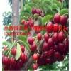 5公分樱桃树哪里便宜 6.7.8公分樱桃树哪里有卖