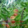 枣树苗批发基地、枣树苗多少钱一株、枣树苗哪里出售