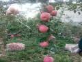 柱状苹果苗