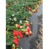 巧克力草莓苗批发 哪里有巧克力草莓苗 巧克力草莓苗供应